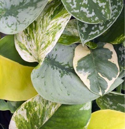 Groen wonen | De veelzijdige Scindapsus