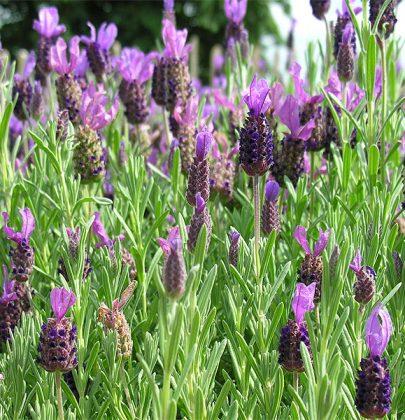 Tuin inspiratie   Lavendel = Veelzijdig mediterraans in eigen tuin