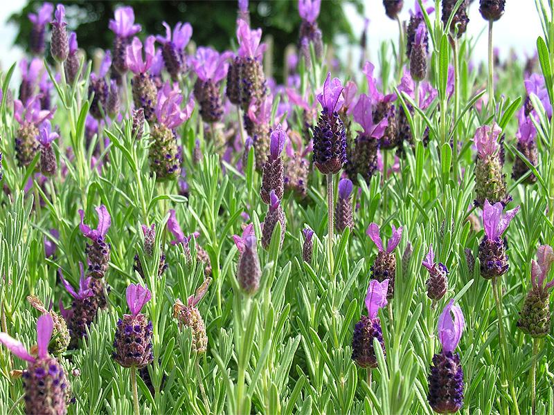 buitenleven lavendel veelzijdig mediterraans in eigen tuin stijlvol styling woonblog. Black Bedroom Furniture Sets. Home Design Ideas