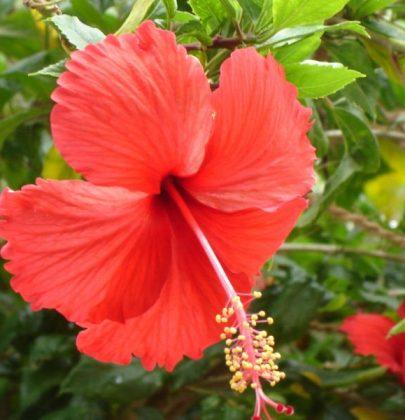 Buitenleven | Hibiscus = Tuinplant van de Maand juli