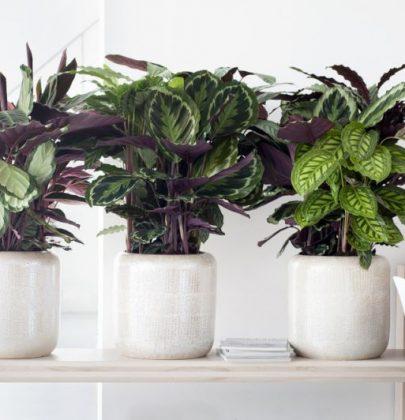 Groen wonen   Calathea = Woonplant van de Maand september 2014