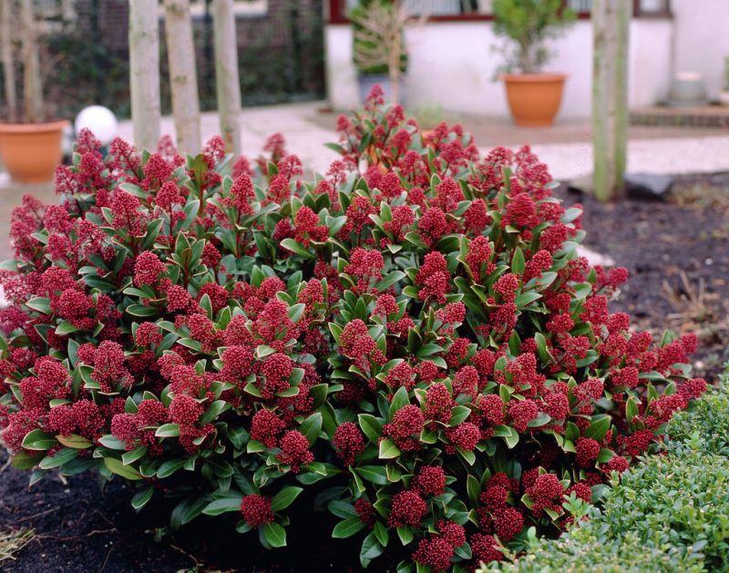 Buitenleven : Skimmia = Tuinplant van de Maand september u2022 Stijlvol ...