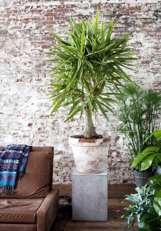 Groen wonen yucca woonplant van de maand januari 2015 for Yucca wohnzimmer