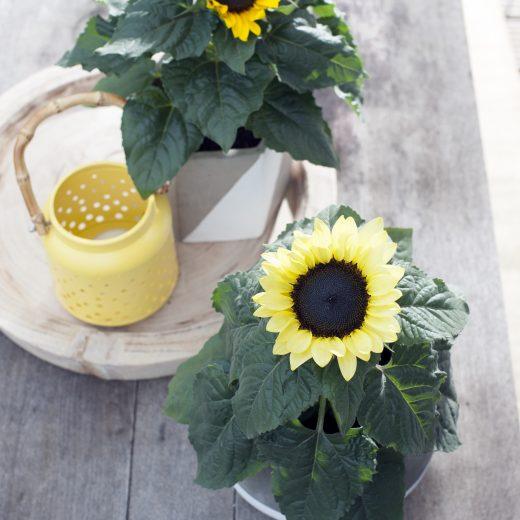 Buitenleven | Gegarandeerd zon in de tuin met de zonnebloem - Woonblog StijlvolStyling.com