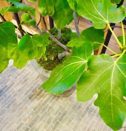 Groen wonen   De vijgenboom (vijg) in jouw interieur & tuin