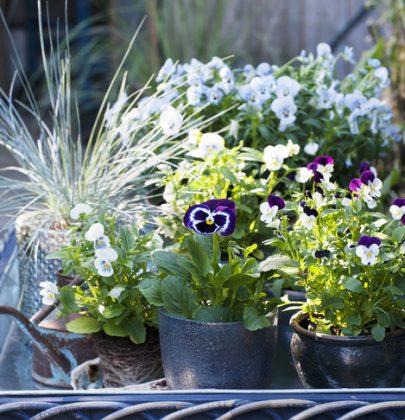 Buitenleven   Viooltje brengt kleur in de tuin of balkon