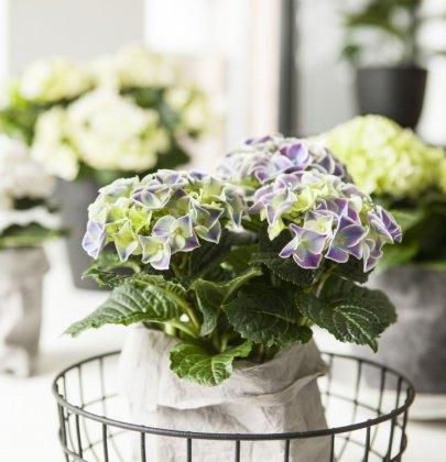 Groen wonen   Hortensia zorgt voor een kleur in jouw interieur