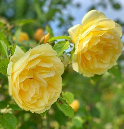 Tuin inspiratie   Geur in je tuin met rozen