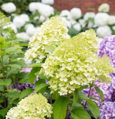 Tuin inspiratie | Bloeiend de zomer in met de nieuwste tuinhortensia